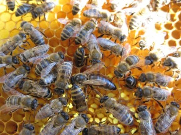 У Запорізькій області намагаються запобігти мору бджіл, як минулого року фото, ілюстрація