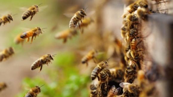 Таємниче зникнення бджіл у Британії. Вчені оприлюднили ймовірну причину фото, ілюстрація