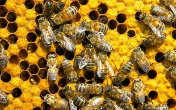 В 60% случаев пчелы погибают от паразитарных заболеваний, – эксперт фото, иллюстрация