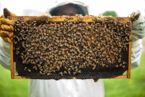 Бджоли гинуть від пестицидів – винна тепла зима фото, ілюстрація