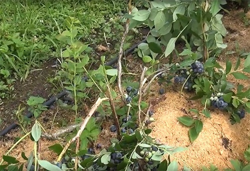 На Долинщине неизвестные сломали 700 кустов голубики на ферме майдановца фото, иллюстрация