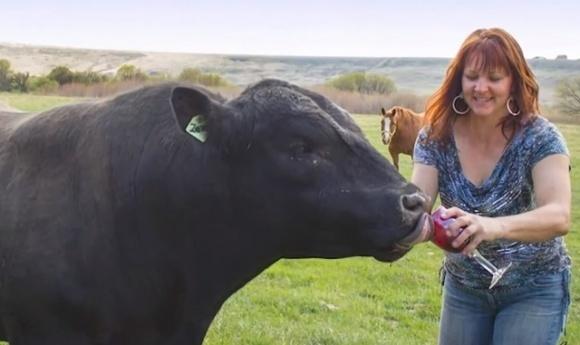 В США фермеры поят коров вином, чтобы получить сочный стейк фото, иллюстрация