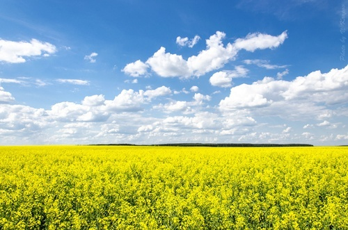 У 2018 році ЄС вперше за останні 6 років став нетто-імпортером ріпакової олії фото, ілюстрація