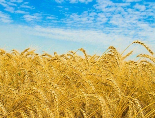 На Кировоградщине аграрии планируют собрать 1.6 млн т зерна фото, иллюстрация