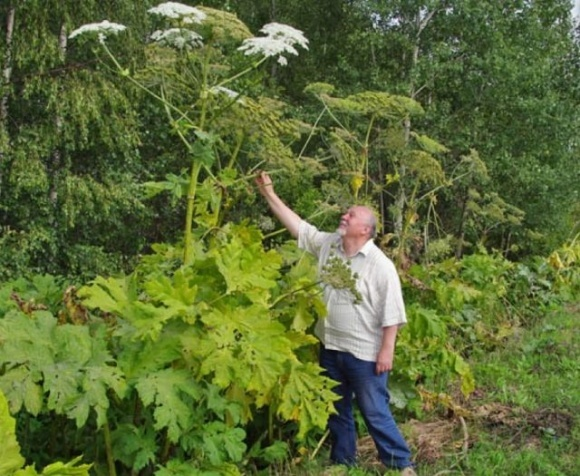 Рослини-прибульці становлять загрозу для культурних рослин та навіть людей фото, ілюстрація