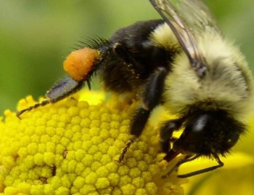 Поляки створюють роботобджіл для запилення квітів фото, ілюстрація