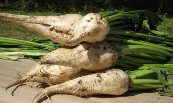 Франція: найнижчий врожай цукрових буряків за 6 років  фото, ілюстрація