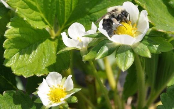 В Європі комерційно вирощені бджоли забезпечують стійкий та ефективний біологічний захист культур фото, ілюстрація