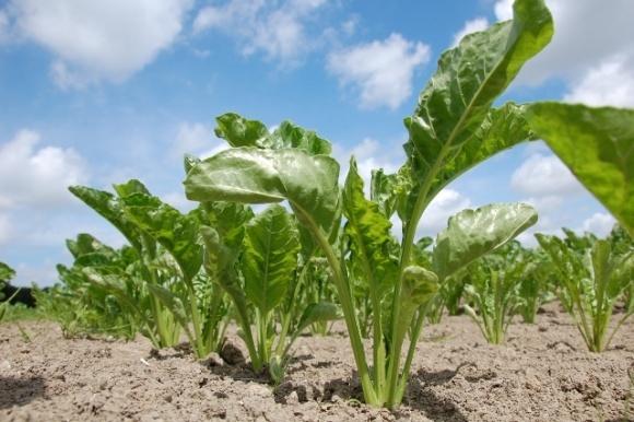 Посівні площі під цукровими буряками в Україні скоротяться на 5% фото, ілюстрація