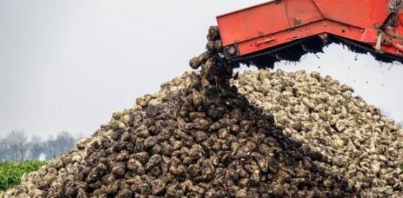 Урожайність цукрових буряків на Івано-Франківщині майже вдвічі перевищує середню по країні фото, ілюстрація