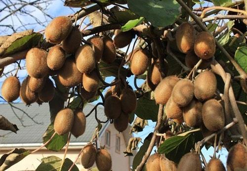 Украинский сорт киви будут выращивать в Узбекистане фото, иллюстрация