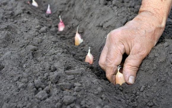 Перспективы экспорта украинского чеснока фото, иллюстрация