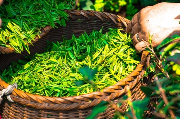 На Закарпатье будут выращивать элитный чай фото, иллюстрация