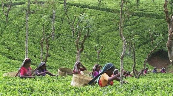 Вспышка коронавируса в Индии ударит по ценам на чай фото, иллюстрация
