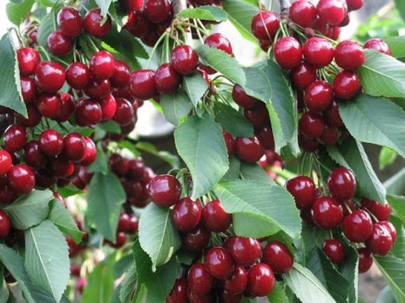 """На Запорожье померзла черешня: урожая почти не ждут, а цены на остатки будут """"кусачими"""" фото, иллюстрация"""