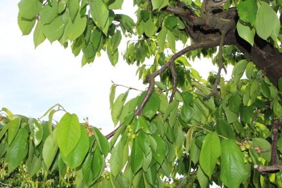 Урожай черешни в Мелитополе не успевают собирать из-за дождей фото, иллюстрация