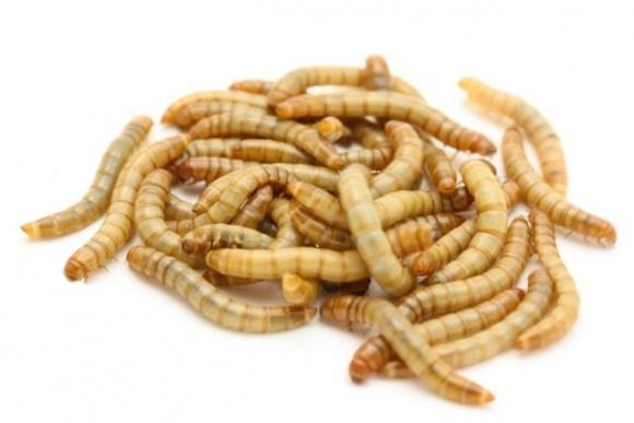Борошно з хробаків — їсти та продавати комах дозволили в Європі фото, ілюстрація