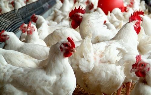 Китай зняв заборону на імпорт української птиці фото, ілюстрація