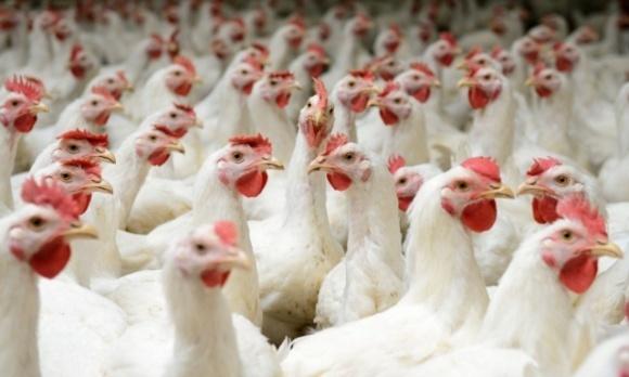 ТОП-3 країн-імпортерів української курятини фото, ілюстрація