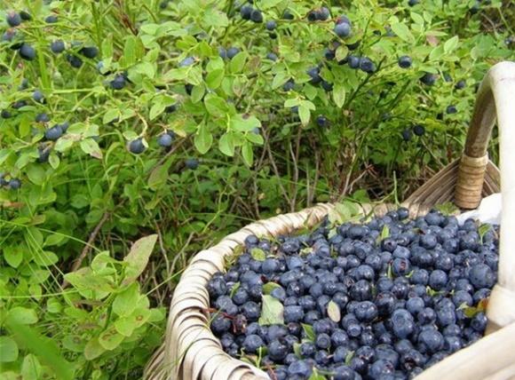 У Чернівецькій області будуть вирощувати польську чорницю фото, ілюстрація