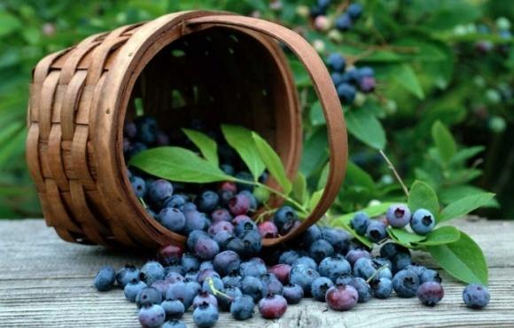 Урожай чорниці на Рівненщині поповнив бюджет майже 2 млн гривень  фото, ілюстрація