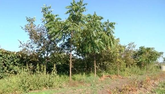 На Львовщине фермер выращивает одну из крупнейших в Украине плантаций черного ореха фото, иллюстрация