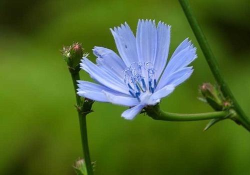 На Сумщине возродят выращивание цикория фото, иллюстрация