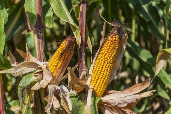 Экспорт семян украинской селекции в 2018 году составляет лишь $8 млн фото, иллюстрация