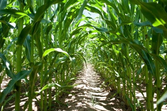 Опади та гарний стан посівів кукурудзи у США тиснуть на ціни фото, ілюстрація