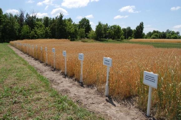 Доля сельхозкультур украинской селекции в Госреестре составляет 42% фото, иллюстрация