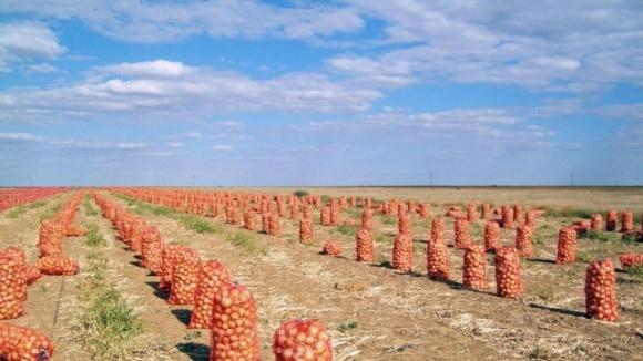 Ученые доказали положительное влияние серы на урожайность репчатого лука фото, иллюстрация