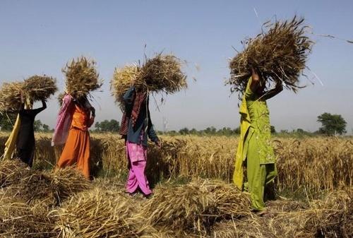 В Індії скоротяться площі під основними зерновими й бобовими фото, ілюстрація