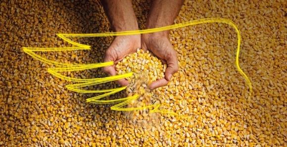 Украинский рекорд в конкурсе урожайности кукурузы Monsanto - 15,3 т/га фото, иллюстрация