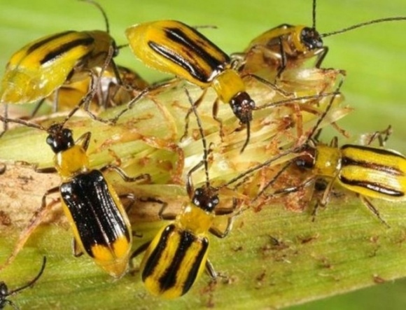 Западный кукурузный жук быстро распространяется по Украине фото, иллюстрация