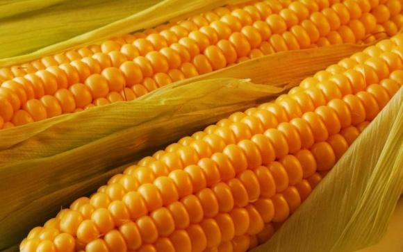 НААН виводить на ринок гібрид кукурудзи для виробництва біоетанолу фото, ілюстрація