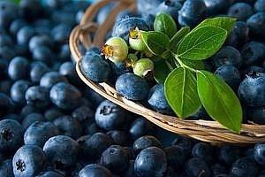 Экспорт лесной черники составляет почти 50% от общих поставок ягод фото, иллюстрация