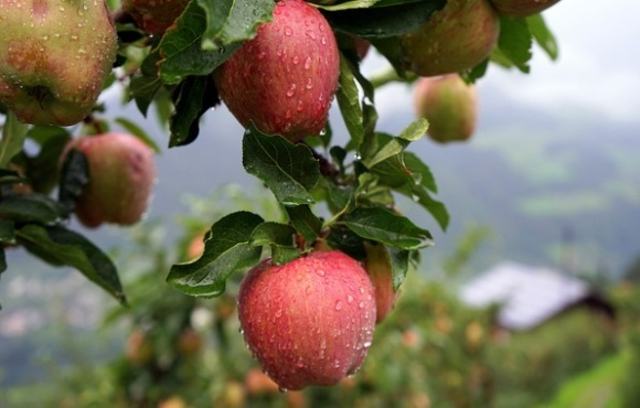 Избыточные осадки создают проблемы для производителей яблок в Украине фото, иллюстрация