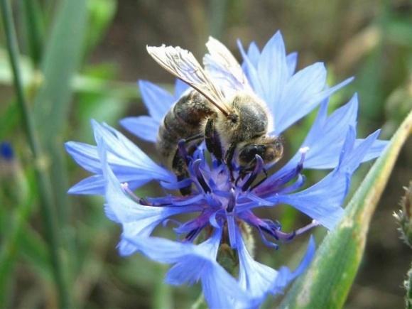 Дикие пчелы ежегодно приносят Северной Америке более $1,5 миллиарда, опыляя лишь несколько культур фото, иллюстрация