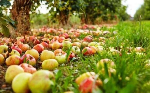 Через низькі ціни на яблука фермер з Буковини пустив урожай на добрива для полів фото, ілюстрація