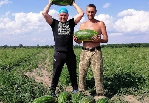 В климатических условиях Волынской области фермер вырастил 120 тонн арбузов фото, иллюстрация