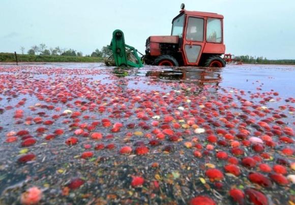 В Білорусі окультурили болотну журавлину фото, ілюстрація