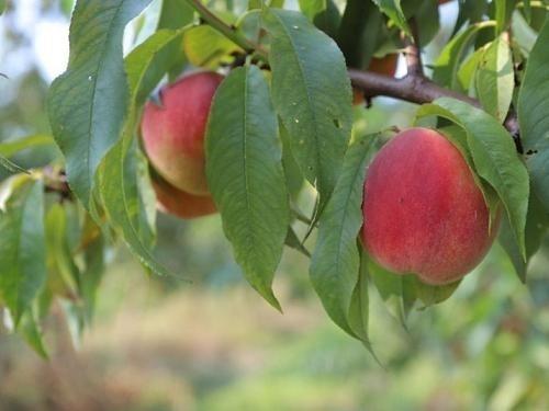Фермер из Львовской области выращивает 36 сортов персика фото, иллюстрация