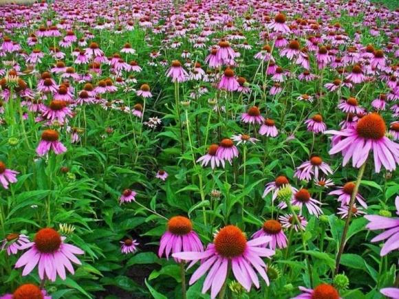 Бізнес на травах дає 30–40% прибутку, а інколи й до 500% фото, ілюстрація