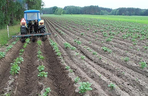 Использование неадаптированных сортов снизит урожайность на 30-40% фото, иллюстрация