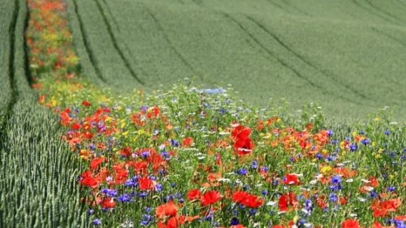 В Європі фермери борються зі шкідниками за допомогою квітів фото, ілюстрація