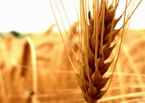 Світове виробництво зернових знизиться, - ФАО фото, ілюстрація