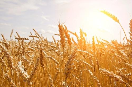 В Україні в другій декаді червня погодні умови призвели до погіршення вегетації пізніх сільгоспкультур фото, ілюстрація