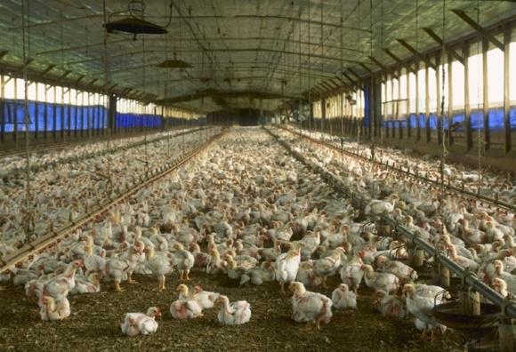 Жена экс-нардепа Царева рейдерски захватила птицефабрику в Крыму фото, иллюстрация