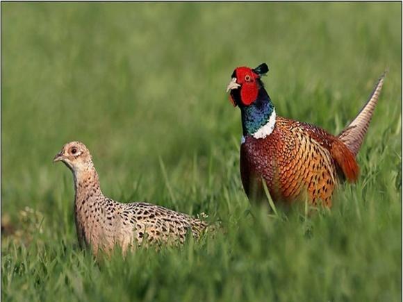 На Херсонщине уберечь картофель от жуков помогут фазаны фото, иллюстрация