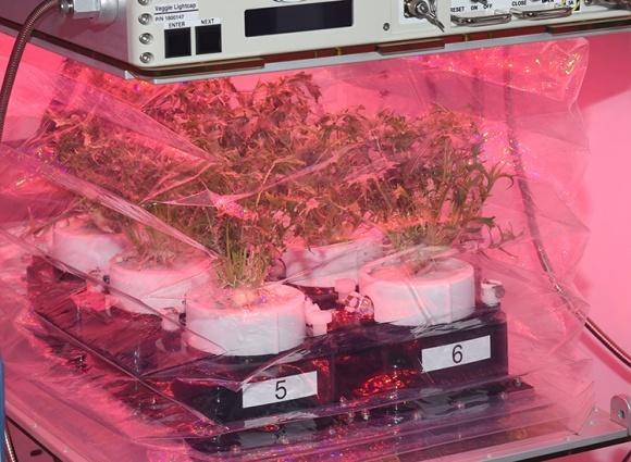 МКС получит инновационную систему для выращивания капусты фото, иллюстрация